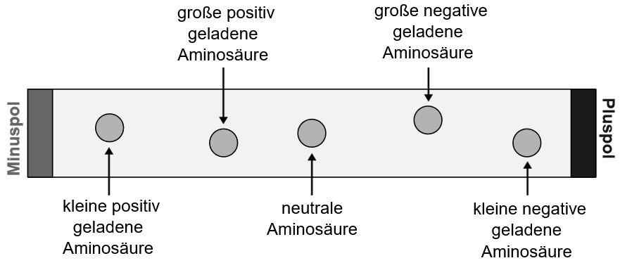 Elektrophorese erklärt