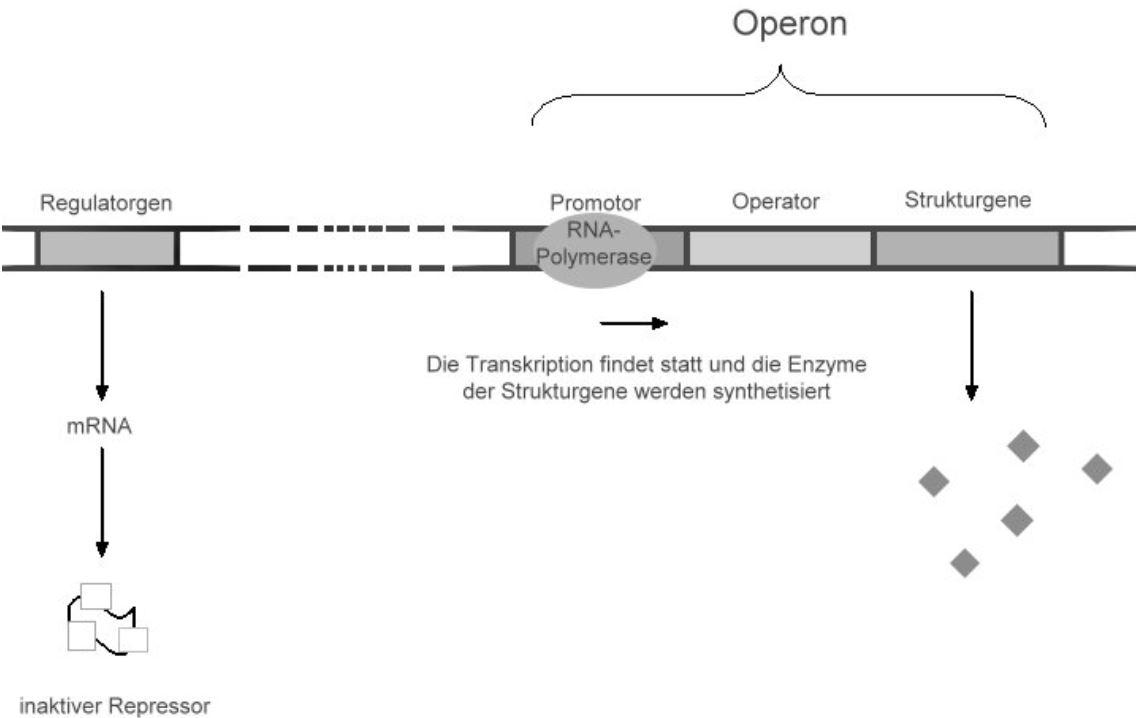Abbau von Tryptophan