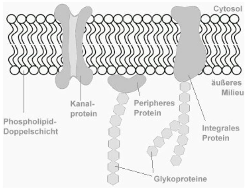 Aufbau der Zellmembran