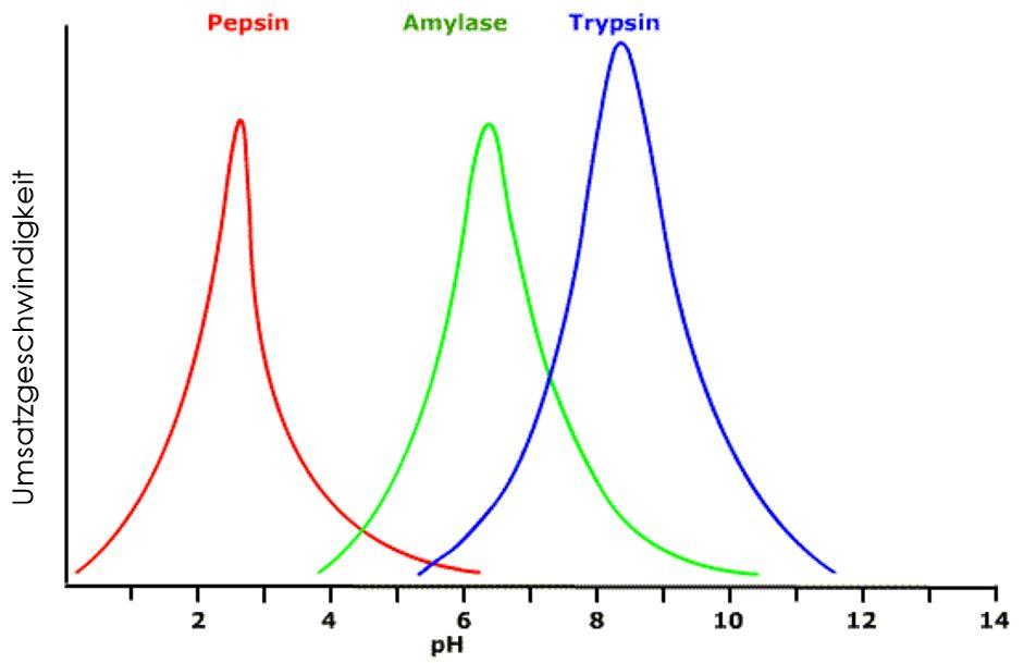 Enzymaktivität und pH-Wert