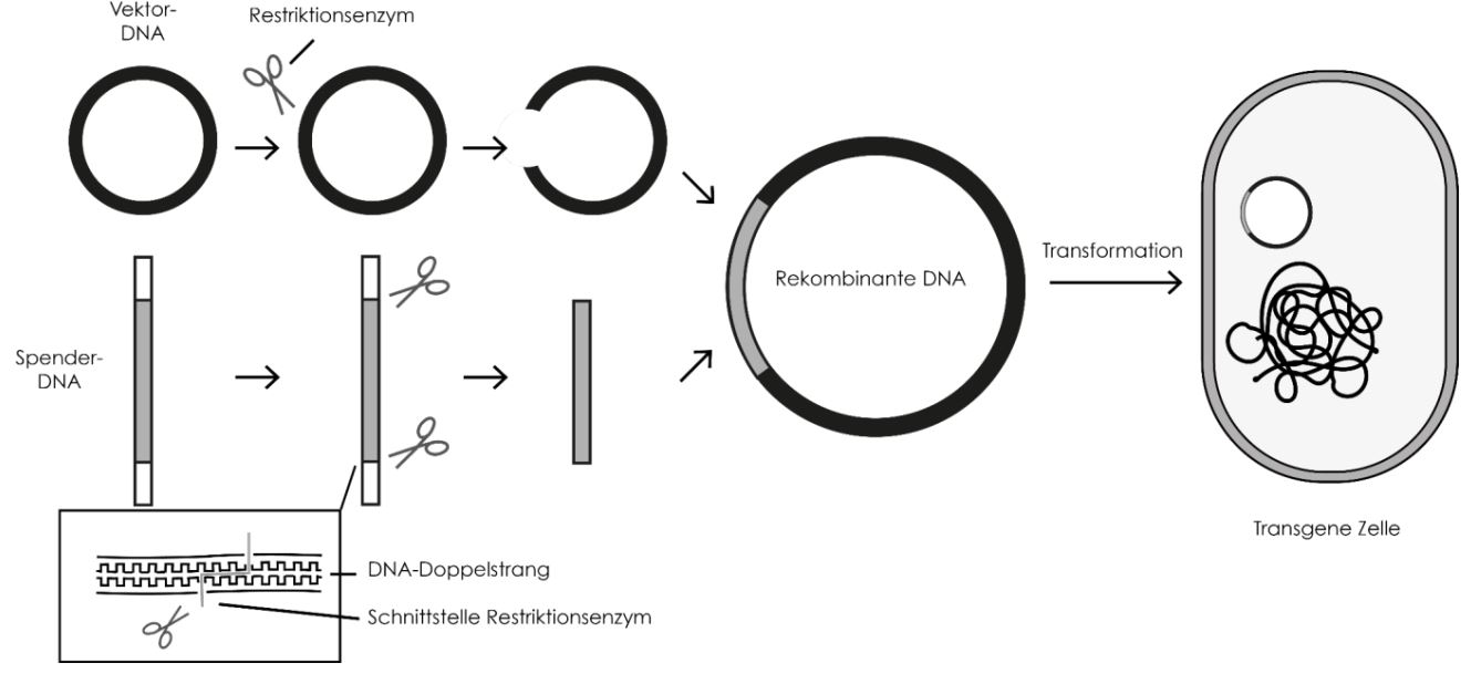 Gentechnik- rekombinanter DNA