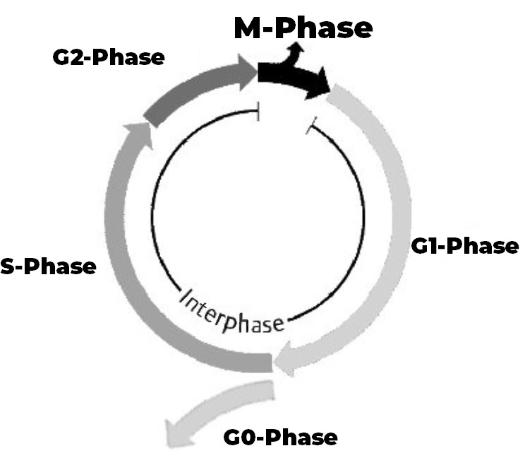 Mitosezyklus