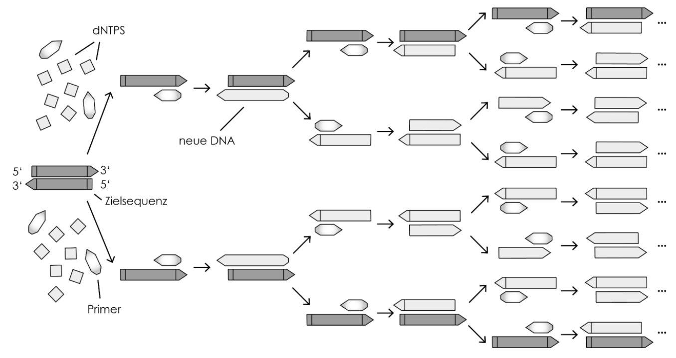 Polymerase